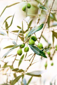 Olives -  Costa Del Sol - Espagne - Janine Joles — https://unsplash.com/photos/-8nbY8W2YEE
