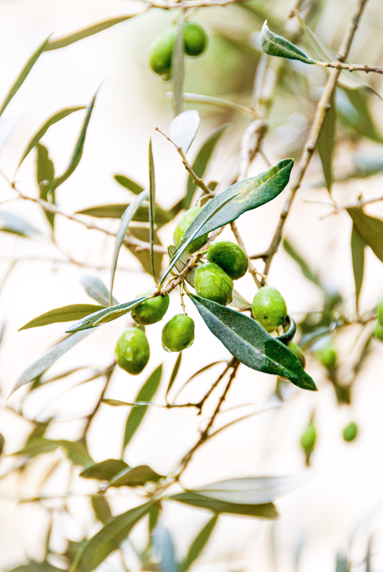 Olives - Costa Del Sol - Espagne - Janine Joles — https://unsplash.com/photos/-8nbY8W2YEE